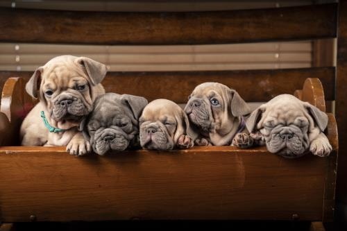 French Bulldog Puppies in a craddle